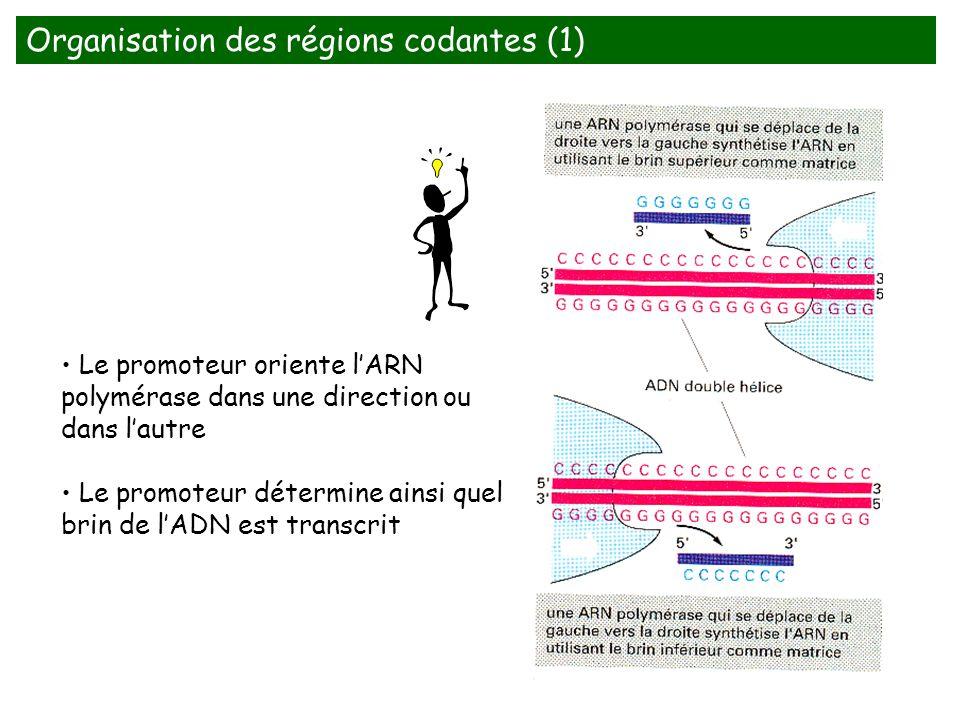Organisation des régions codantes (1)