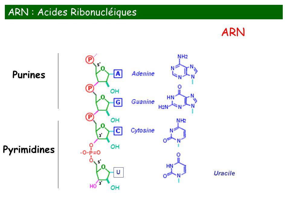 ARN ARN : Acides Ribonucléiques Purines Pyrimidines Uracile OH OH OH U