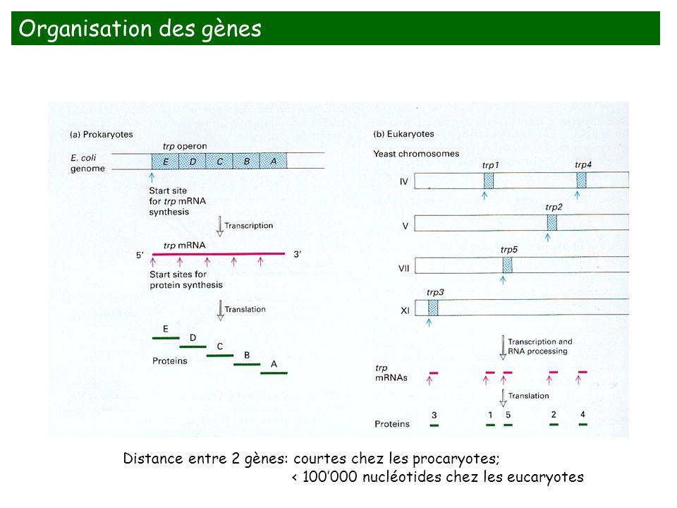 Organisation des gènes