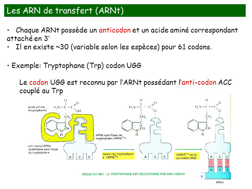 Les ARN de transfert (ARNt)