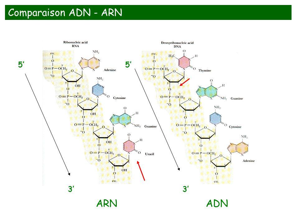 Comparaison ADN - ARN 5' 3' ARN ADN