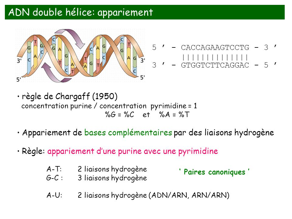 ADN double hélice: appariement