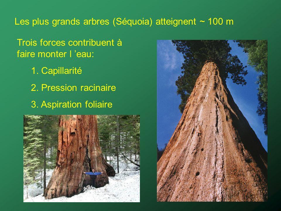 Les plus grands arbres (Séquoia) atteignent ~ 100 m