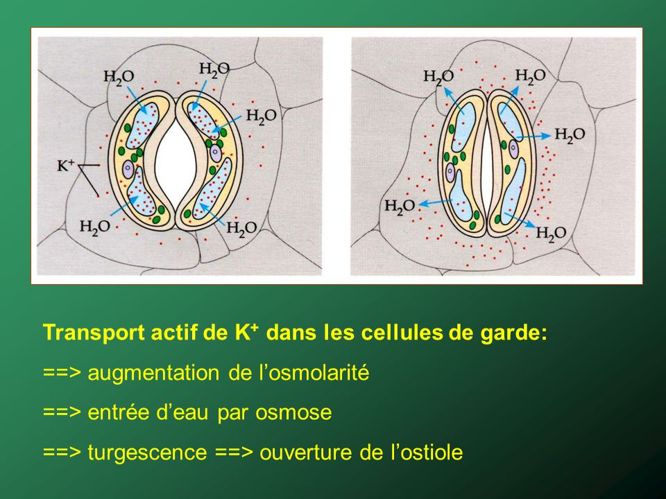 Transport actif de K+ dans les cellules de garde:
