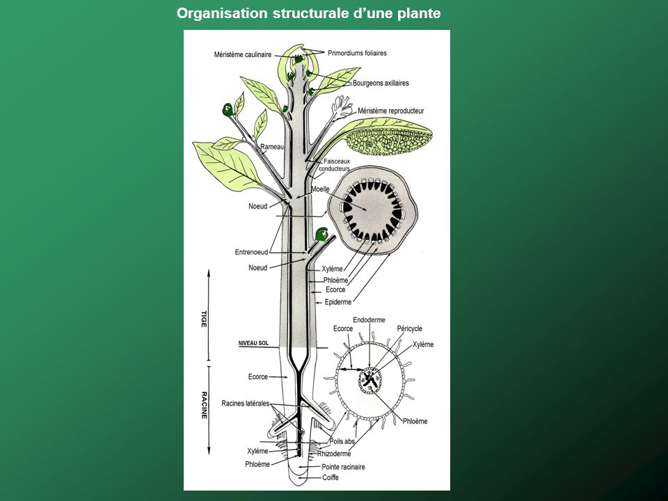Organisation structurale d'une plante