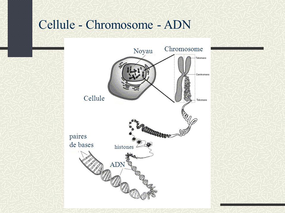 Cellule - Chromosome - ADN