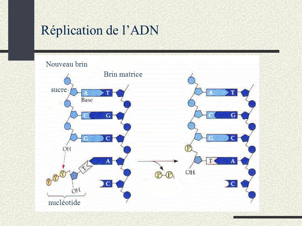 Réplication de l'ADN Nouveau brin Brin matrice sucre nucléotide