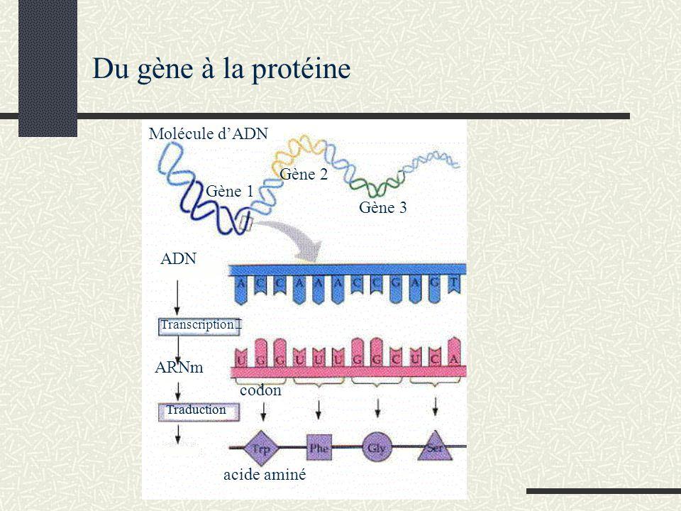 Du gène à la protéine Molécule d'ADN Gène 2 Gène 1 Gène 3 ADN ARNm