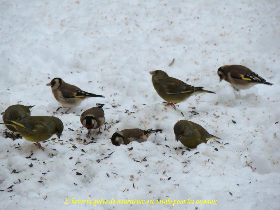 L'hiver la quête de nourriture est vitale pour les oiseaux