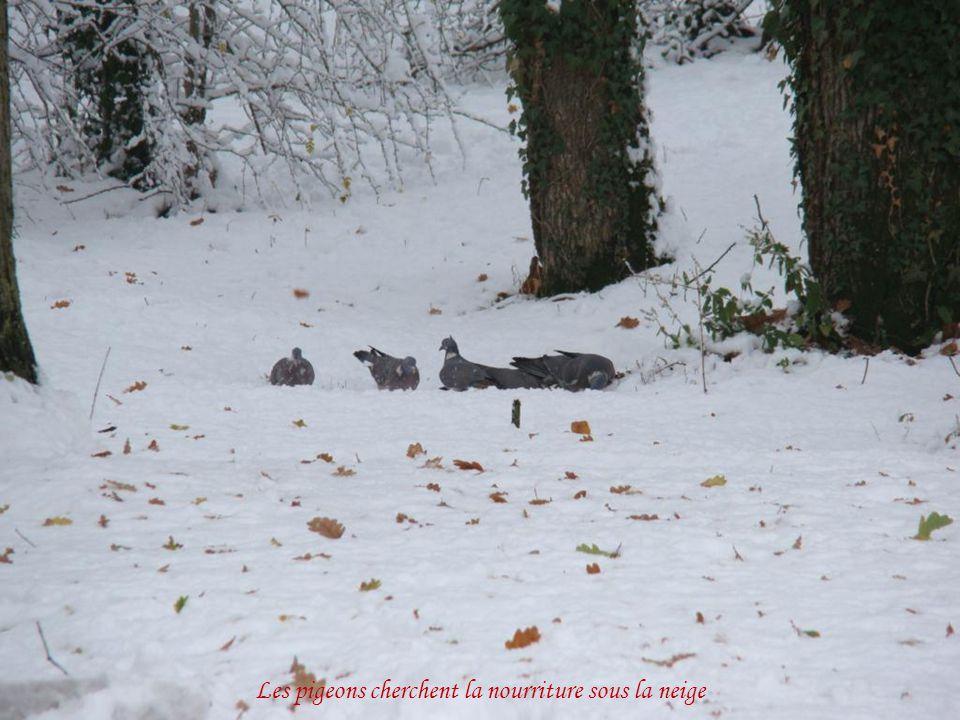 Les pigeons cherchent la nourriture sous la neige