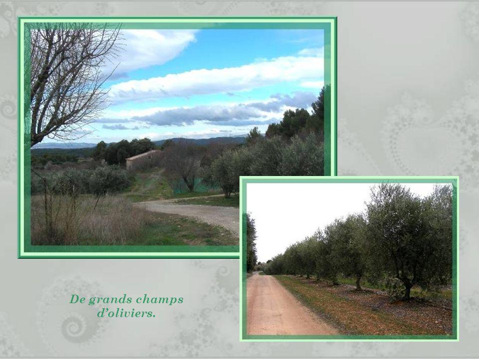 De grands champs d'oliviers.