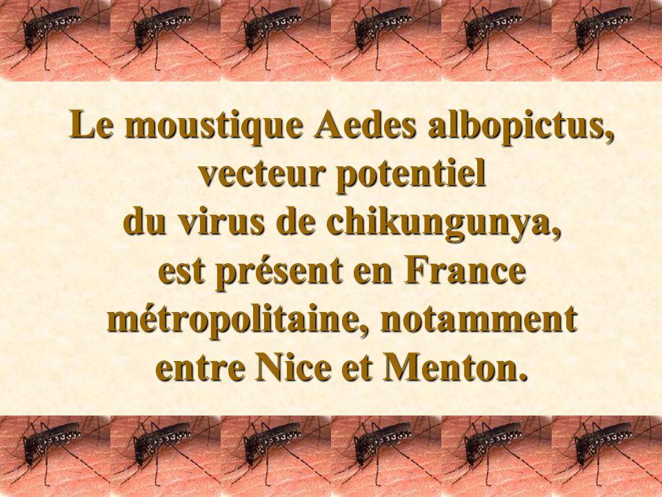 Le moustique Aedes albopictus, vecteur potentiel du virus de chikungunya, est présent en France métropolitaine, notamment entre Nice et Menton.