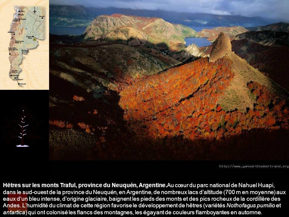Hêtres sur les monts Traful, province du Neuquén, Argentine