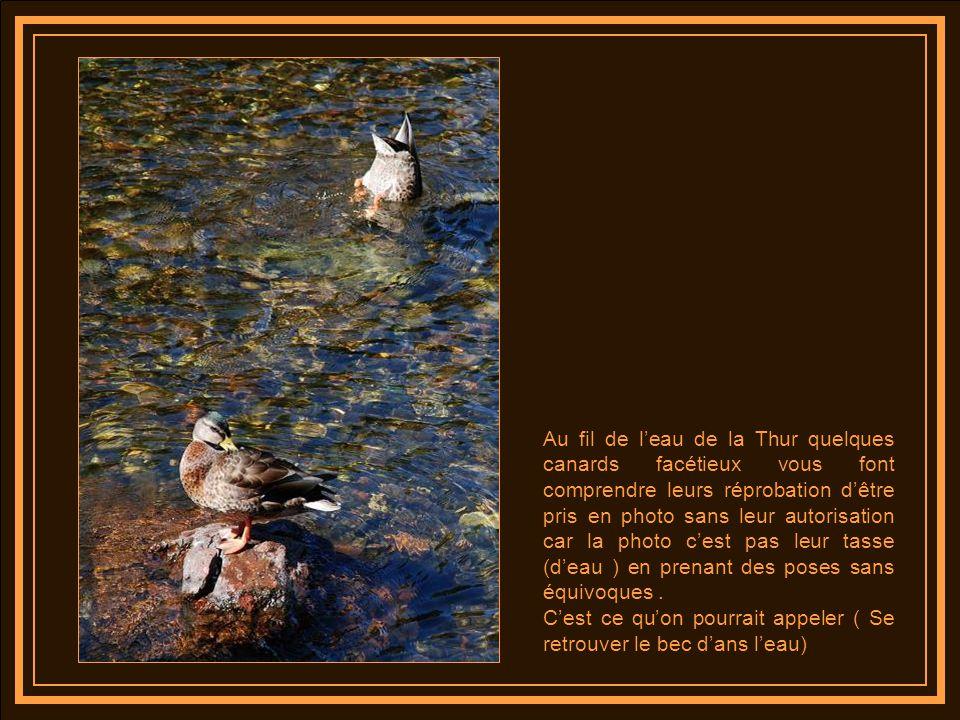 Au fil de l'eau de la Thur quelques canards facétieux vous font comprendre leurs réprobation d'être pris en photo sans leur autorisation car la photo c'est pas leur tasse (d'eau ) en prenant des poses sans équivoques .