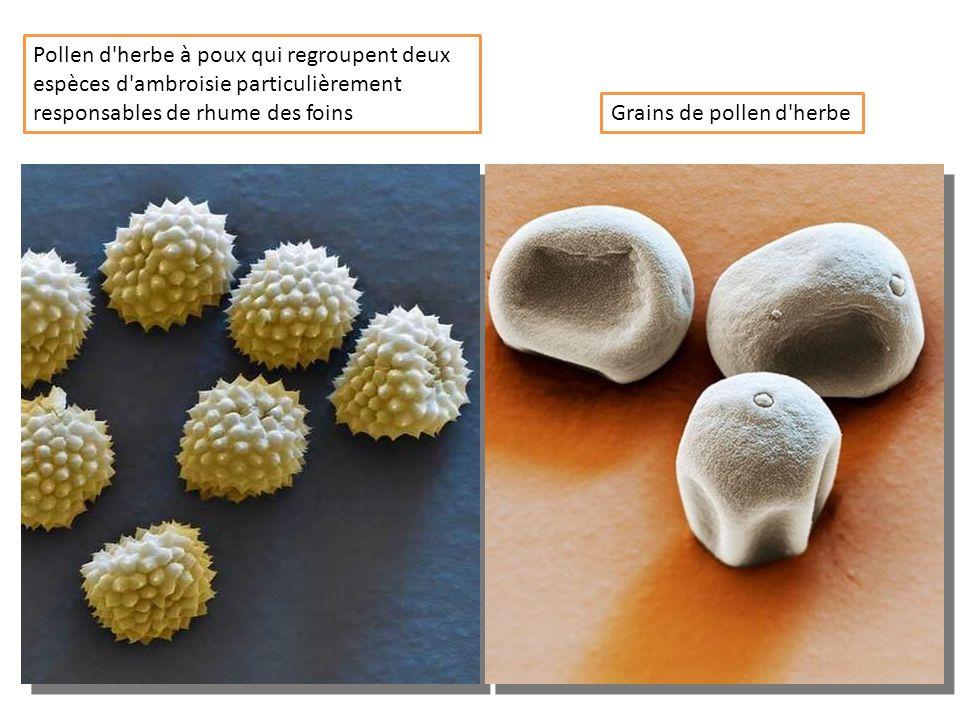 Pollen d herbe à poux qui regroupent deux espèces d ambroisie particulièrement responsables de rhume des foins