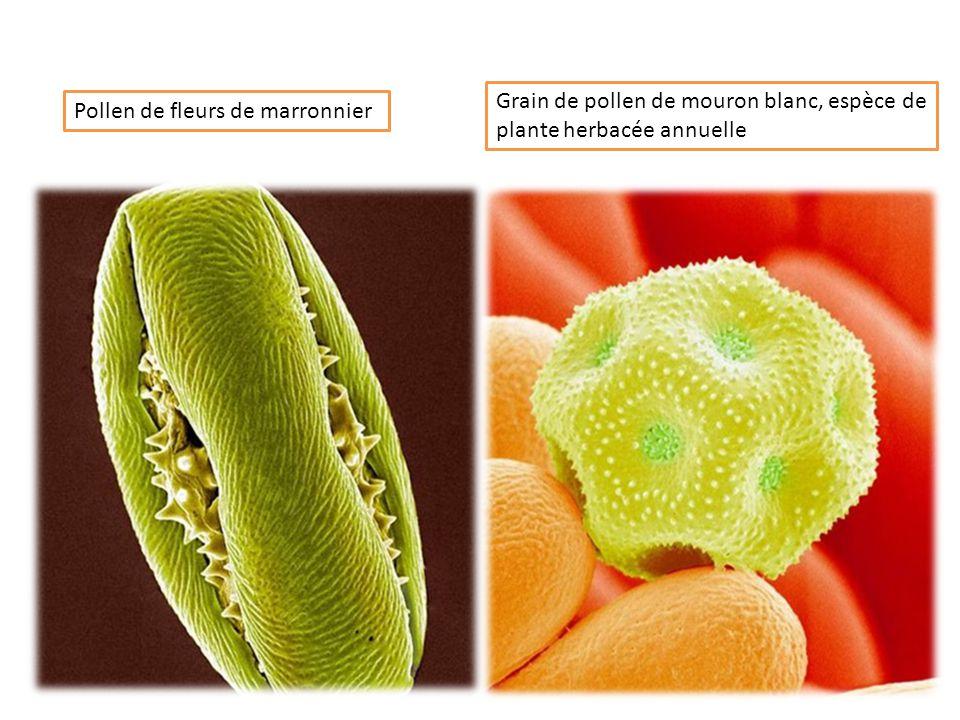 Grain de pollen de mouron blanc, espèce de plante herbacée annuelle