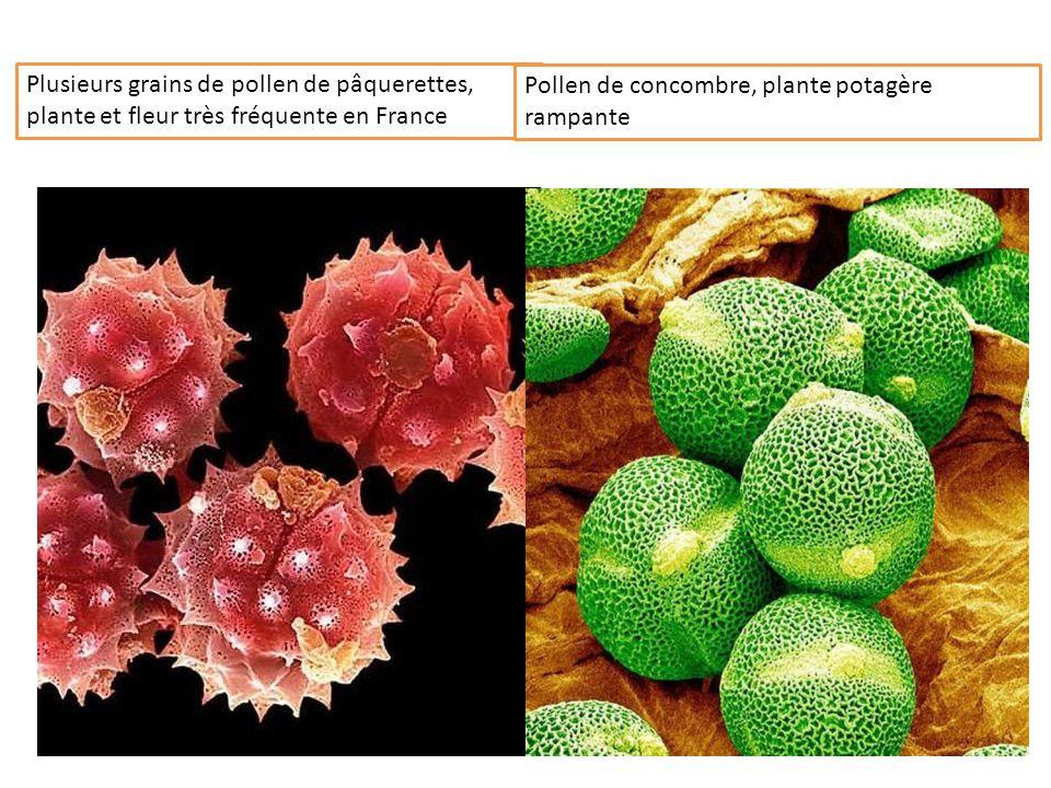 Plusieurs grains de pollen de pâquerettes, plante et fleur très fréquente en France
