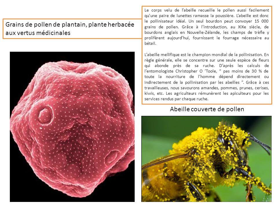 Grains de pollen de plantain, plante herbacée aux vertus médicinales