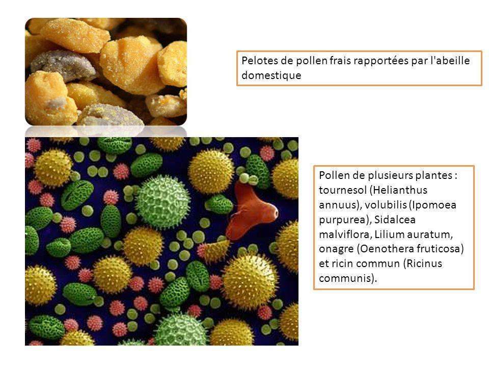 Pelotes de pollen frais rapportées par l abeille domestique