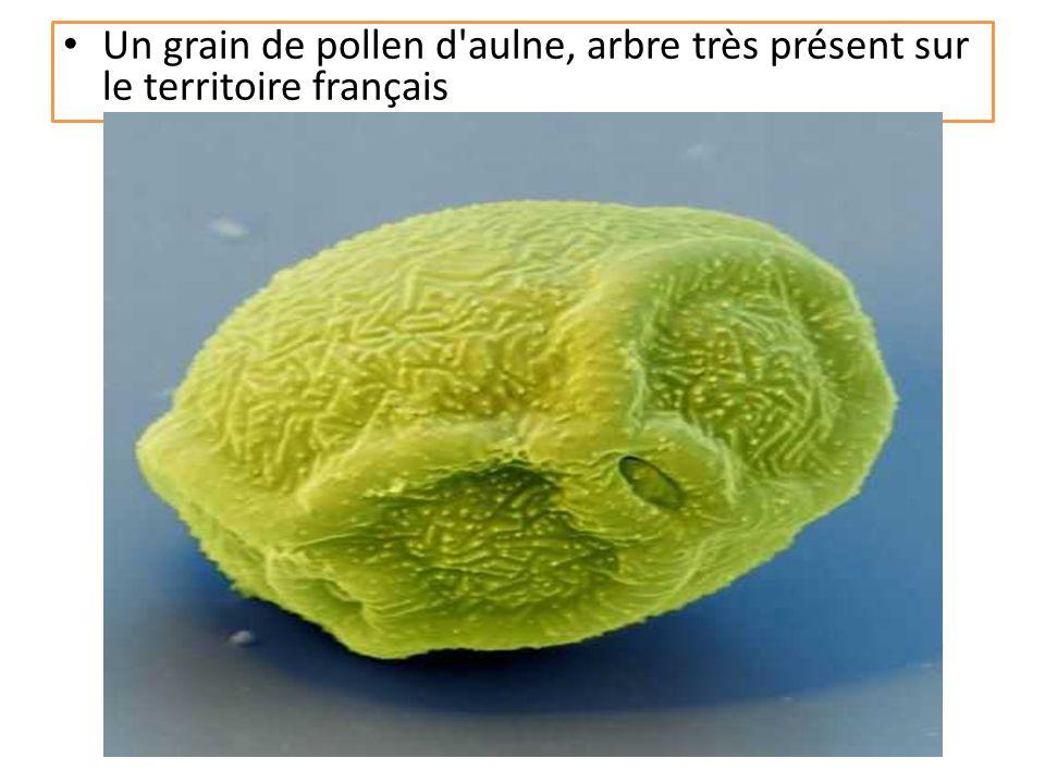 Un grain de pollen d aulne, arbre très présent sur le territoire français