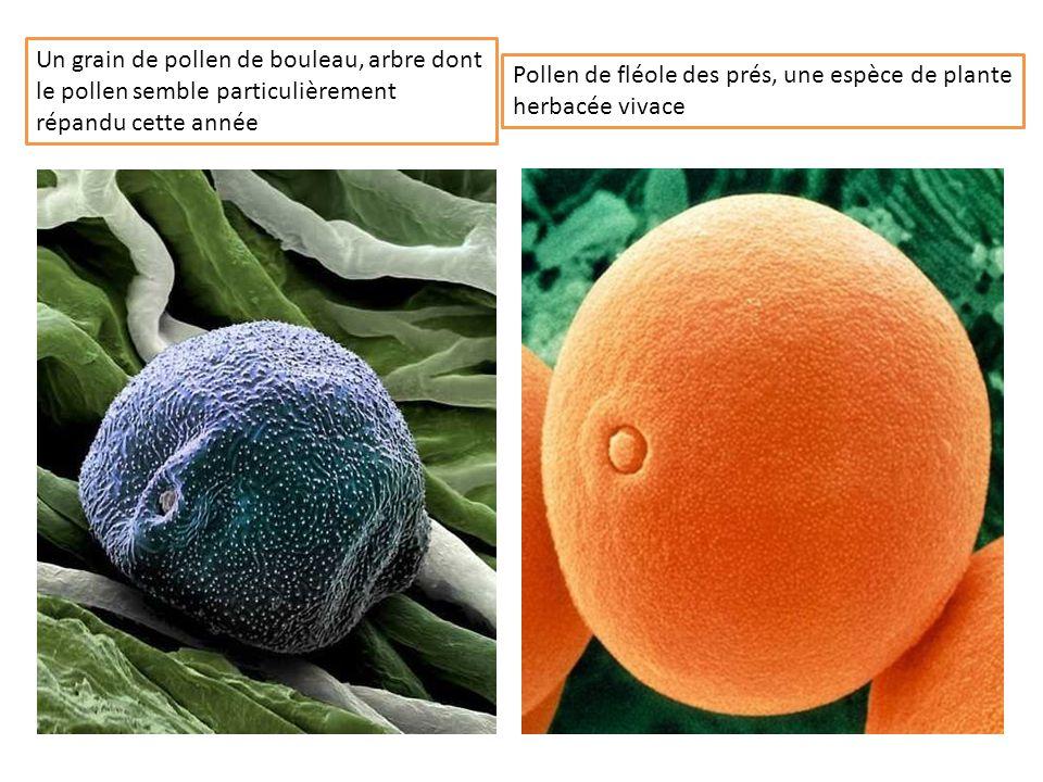 Un grain de pollen de bouleau, arbre dont le pollen semble particulièrement répandu cette année