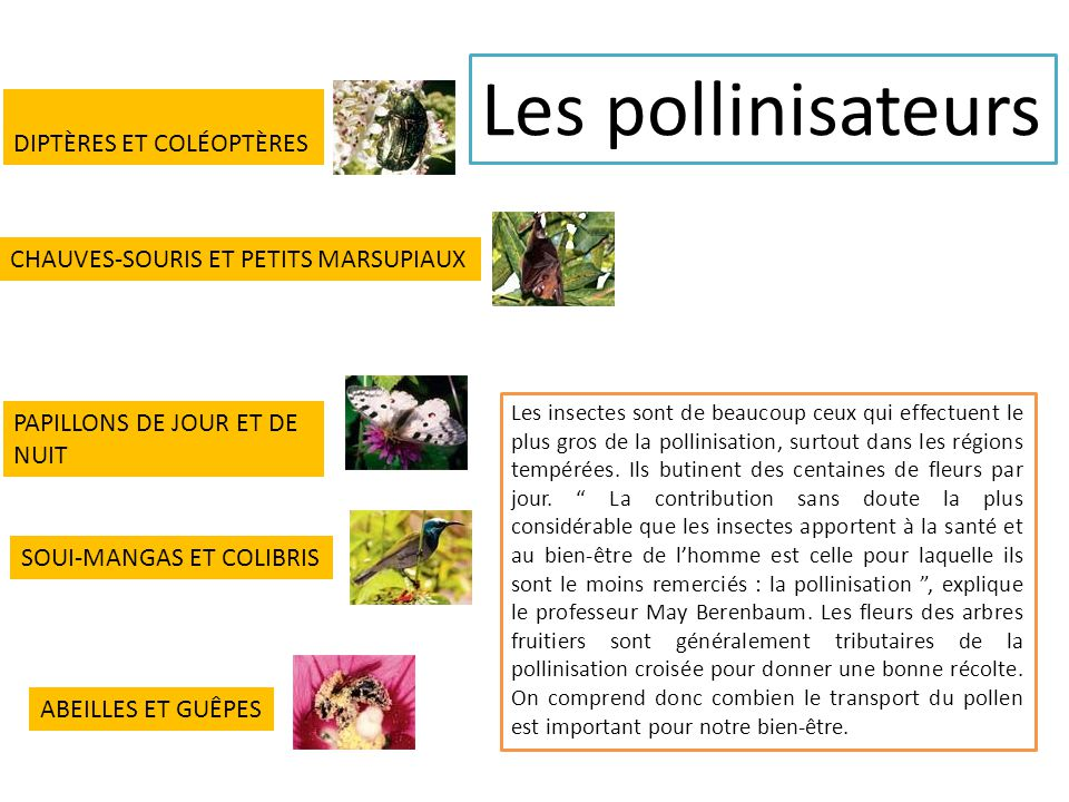 Les pollinisateurs DIPTÈRES ET COLÉOPTÈRES