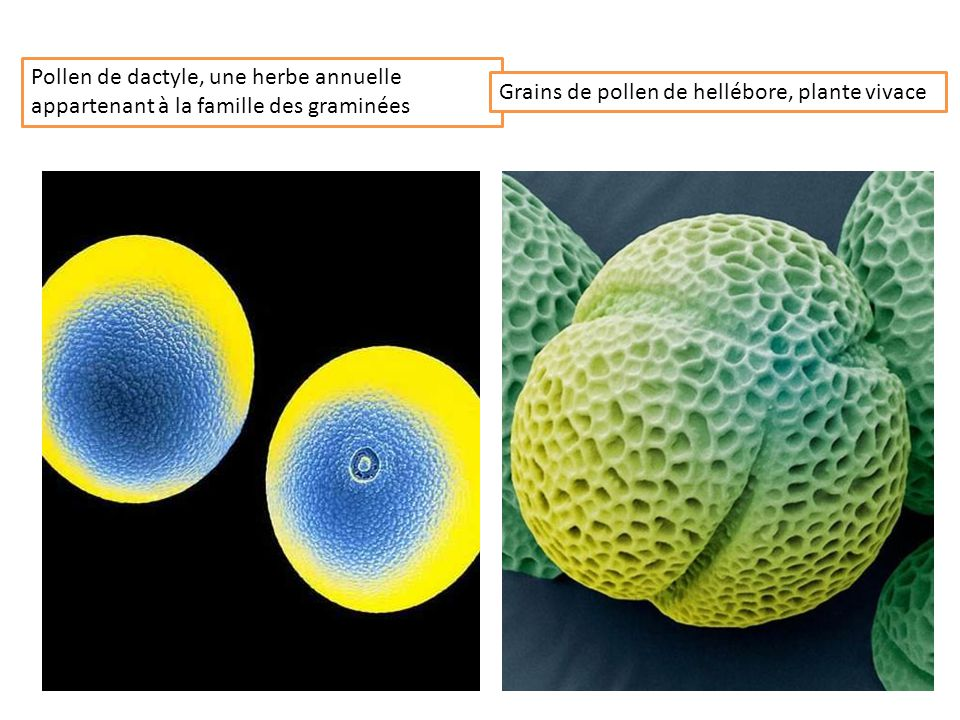 Pollen de dactyle, une herbe annuelle appartenant à la famille des graminées