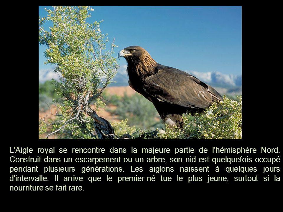 L Aigle royal se rencontre dans la majeure partie de l hémisphère Nord
