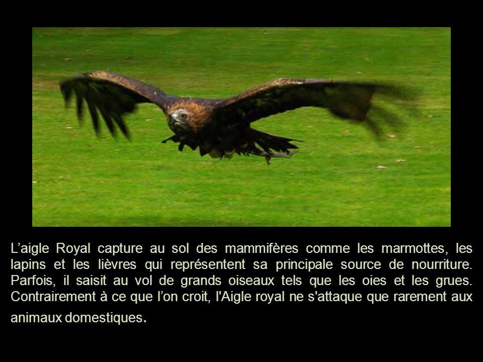 L'aigle Royal capture au sol des mammifères comme les marmottes, les lapins et les lièvres qui représentent sa principale source de nourriture.