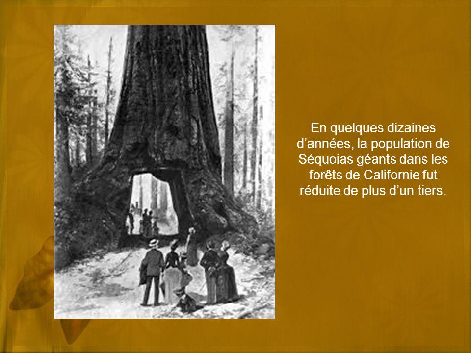 En quelques dizaines d'années, la population de Séquoias géants dans les forêts de Californie fut réduite de plus d'un tiers.