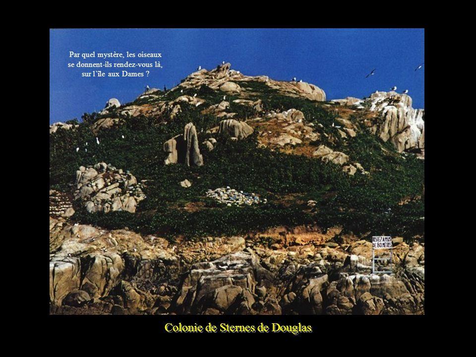 Colonie de Sternes de Douglas