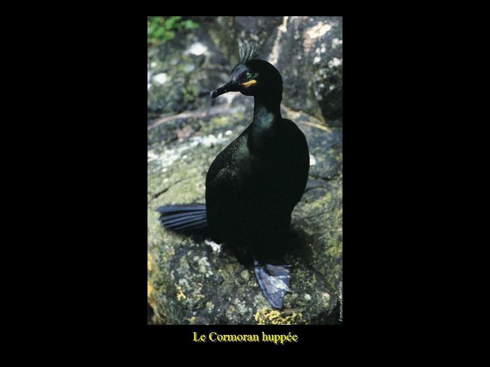 Le Cormoran huppée