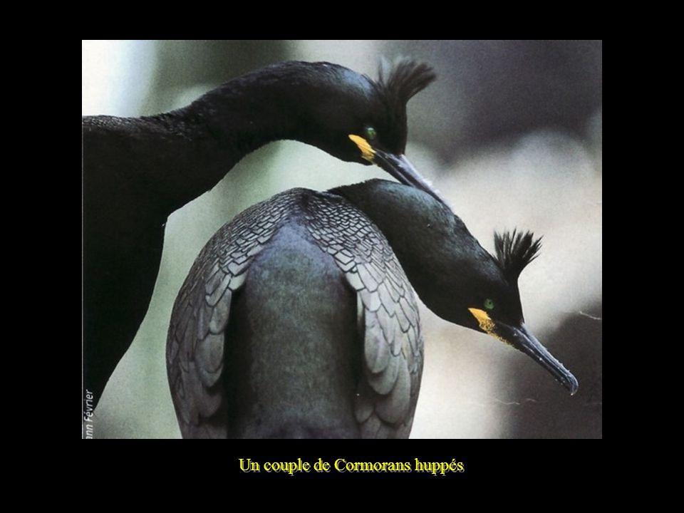 Un couple de Cormorans huppés