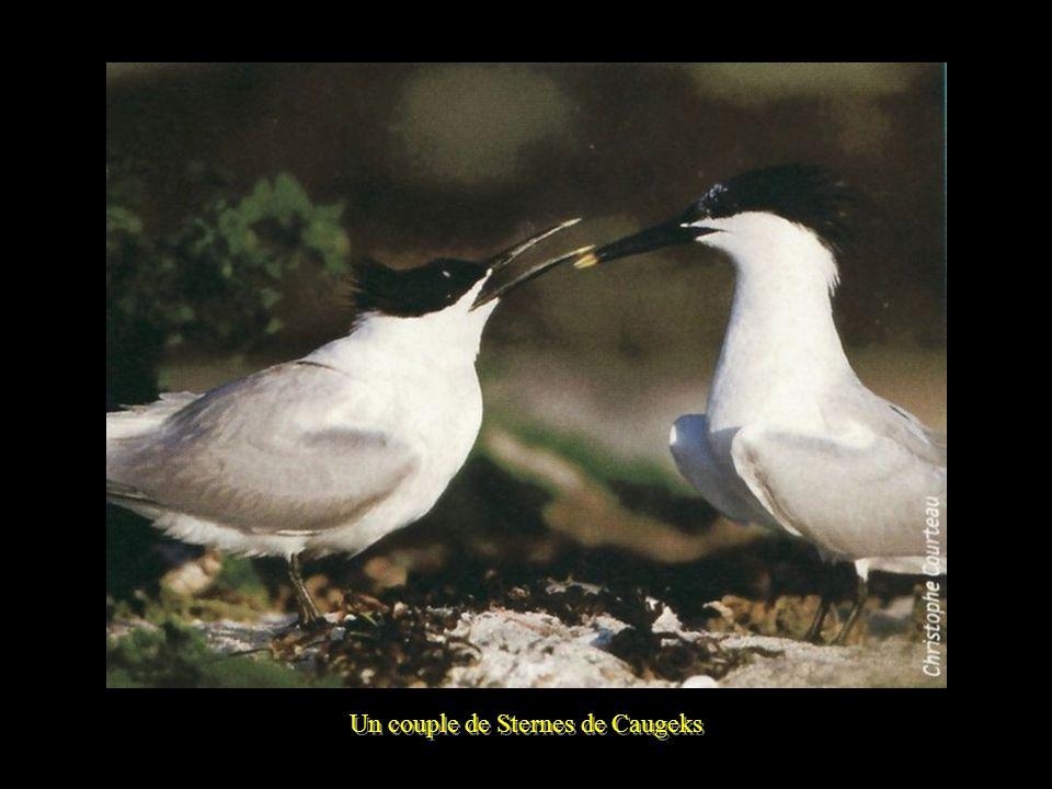 Un couple de Sternes de Caugeks