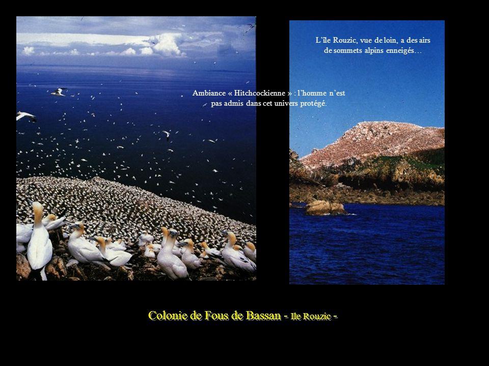 Colonie de Fous de Bassan - Ile Rouzic -