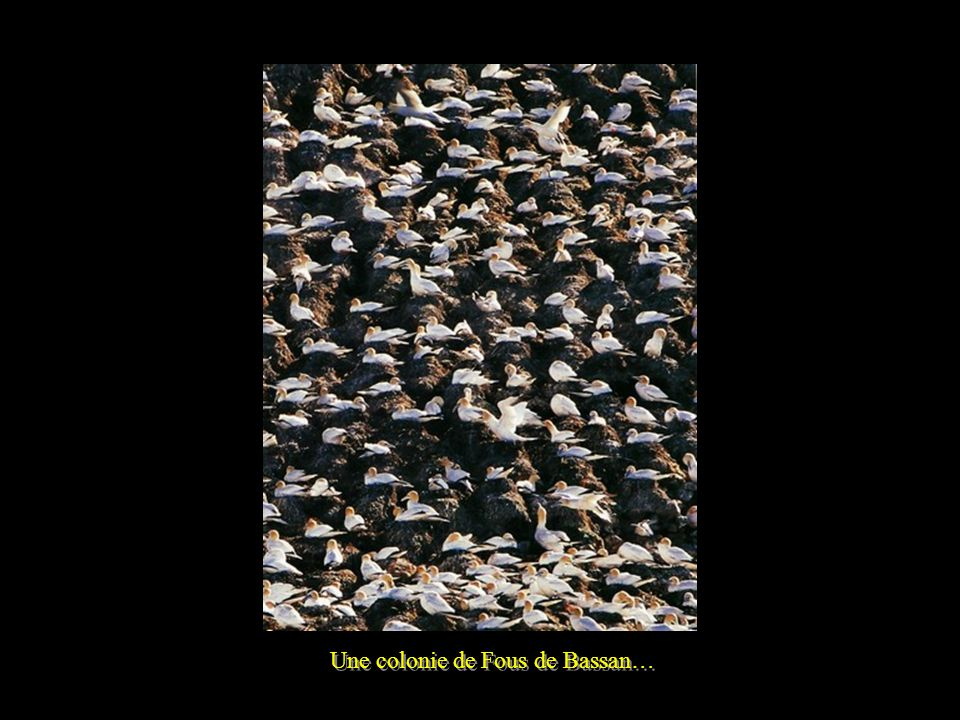 Une colonie de Fous de Bassan…