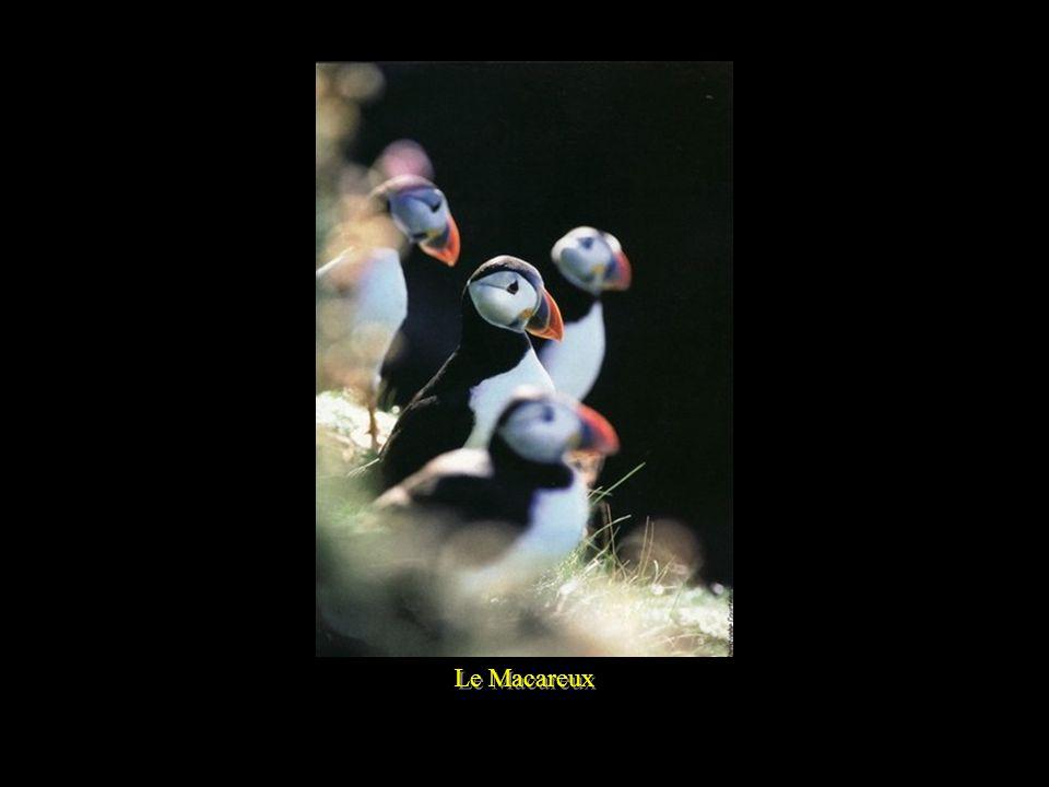 Le Macareux