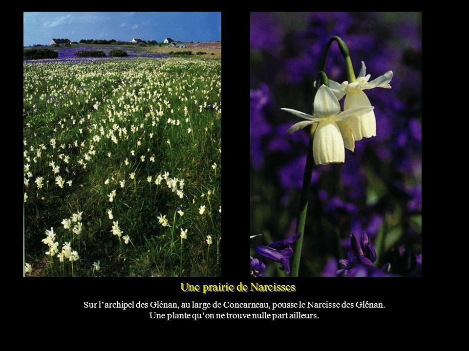 Une prairie de Narcisses