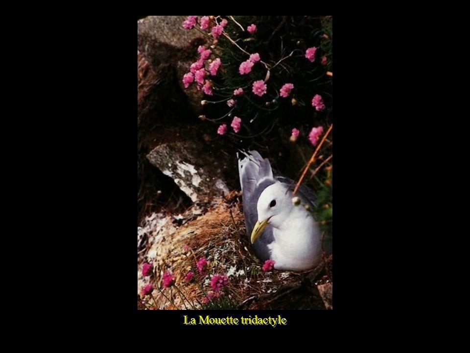 La Mouette tridactyle