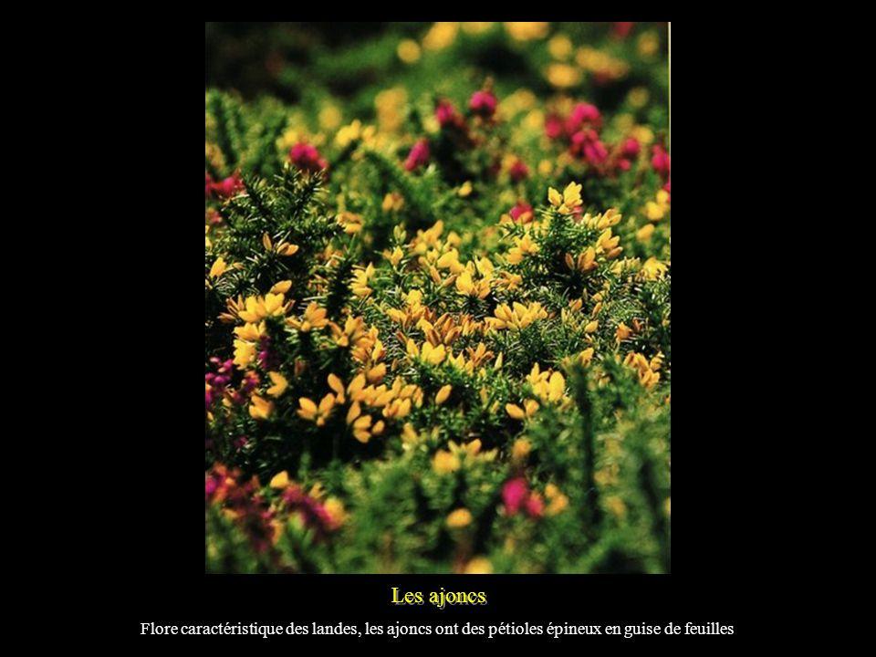 Les ajoncs Flore caractéristique des landes, les ajoncs ont des pétioles épineux en guise de feuilles.