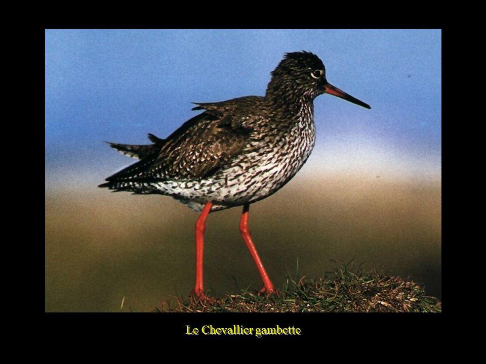 Le Chevallier gambette