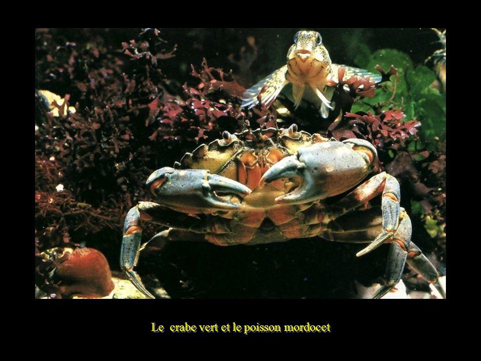 Le crabe vert et le poisson mordocet