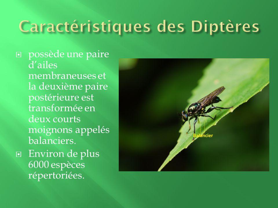 Caractéristiques des Diptères