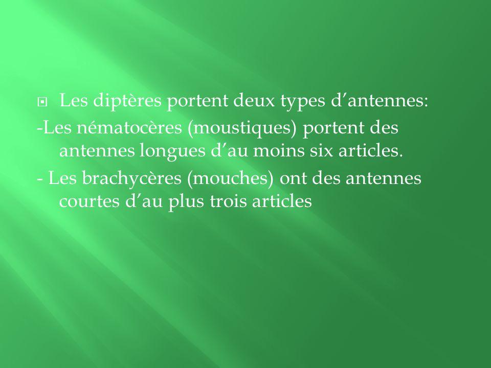 Les diptères portent deux types d'antennes: