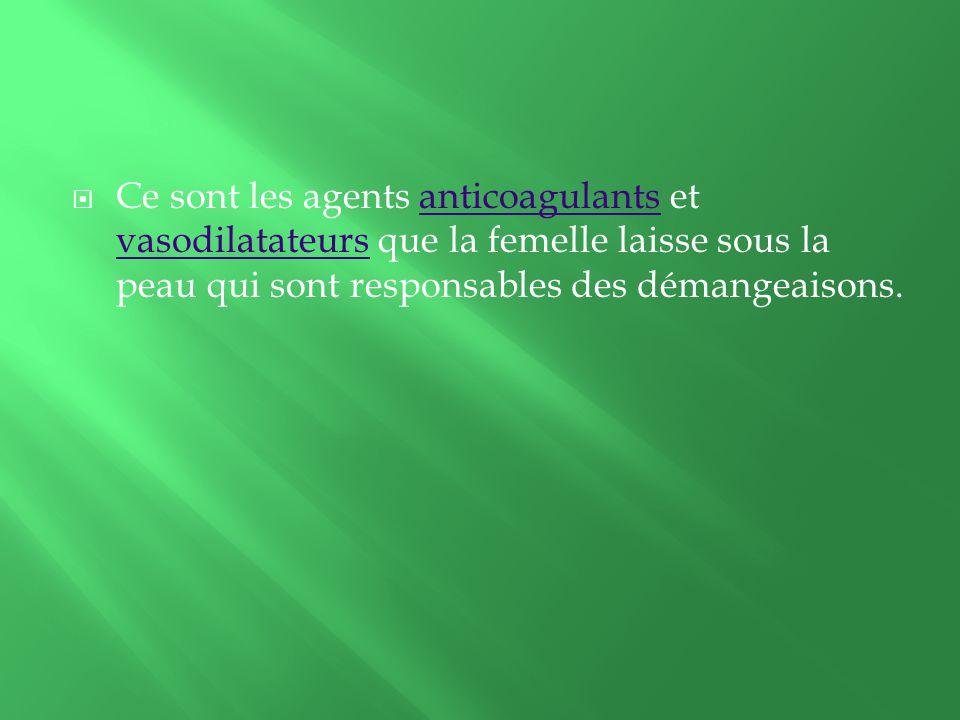 Ce sont les agents anticoagulants et vasodilatateurs que la femelle laisse sous la peau qui sont responsables des démangeaisons.