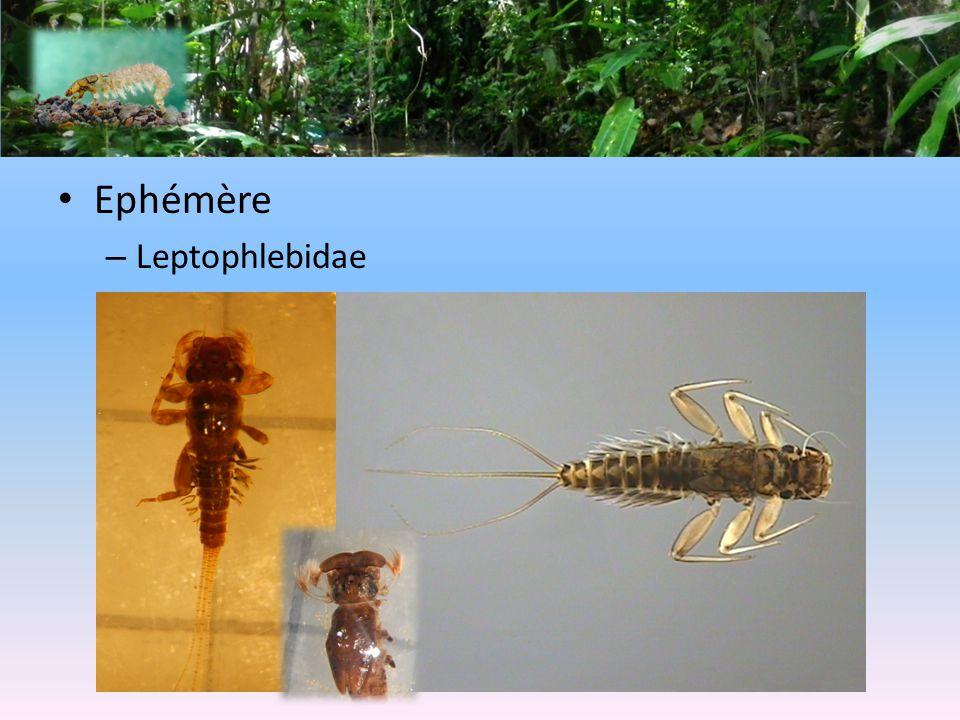 Ephémère Leptophlebidae