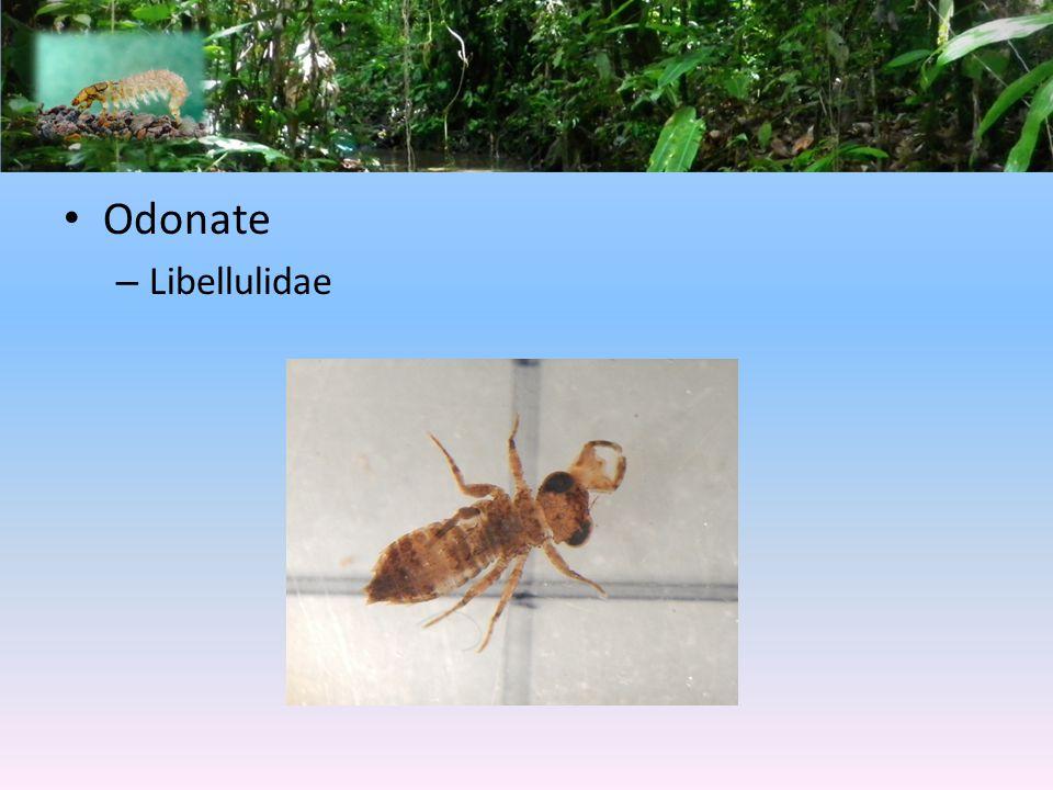 Odonate Libellulidae