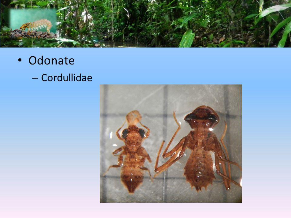 Odonate Cordullidae