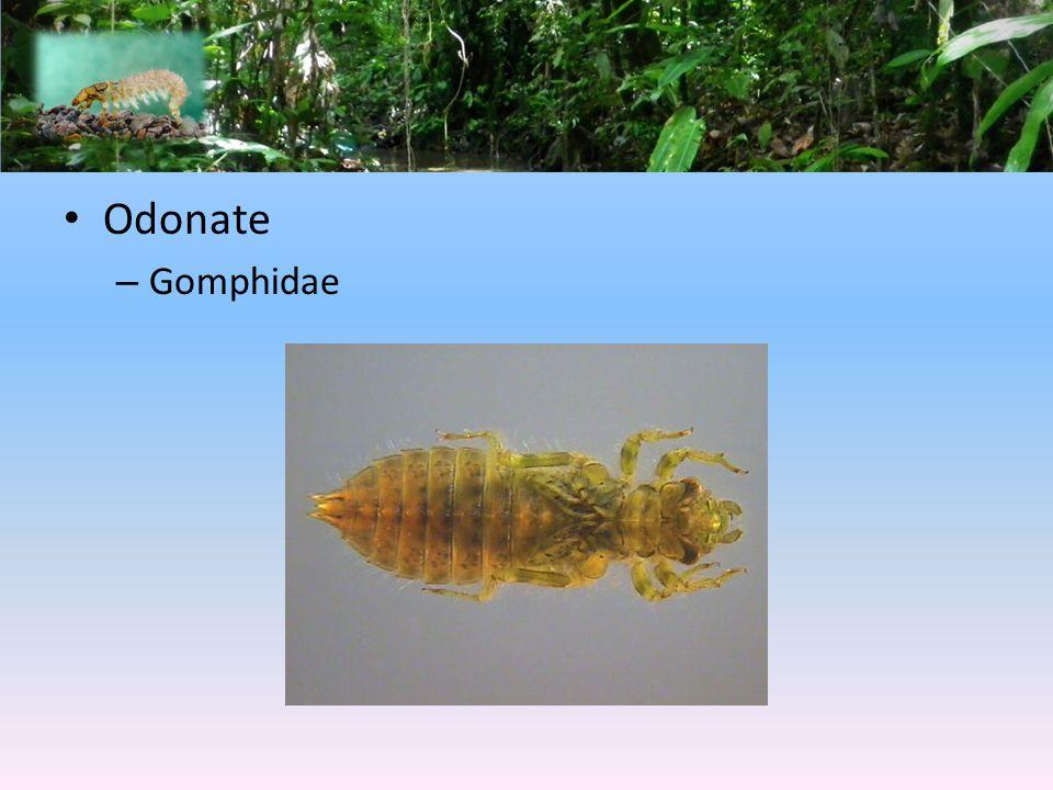 Odonate Gomphidae