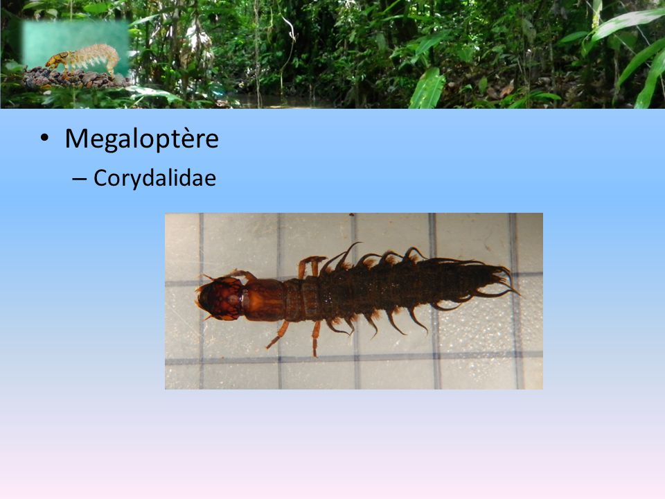 Megaloptère Corydalidae